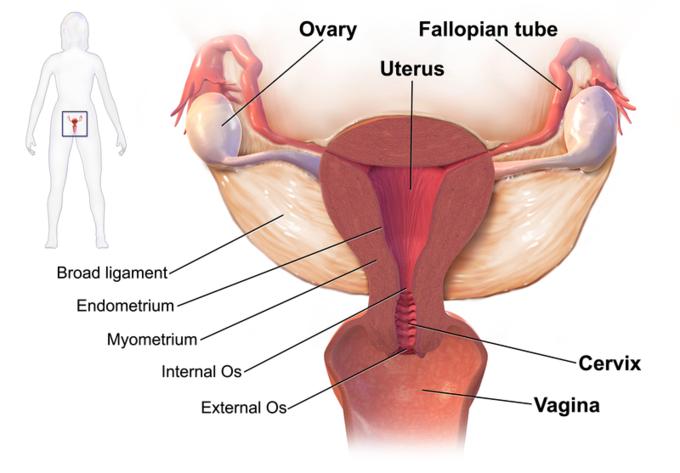 Anatomy vulva of female human