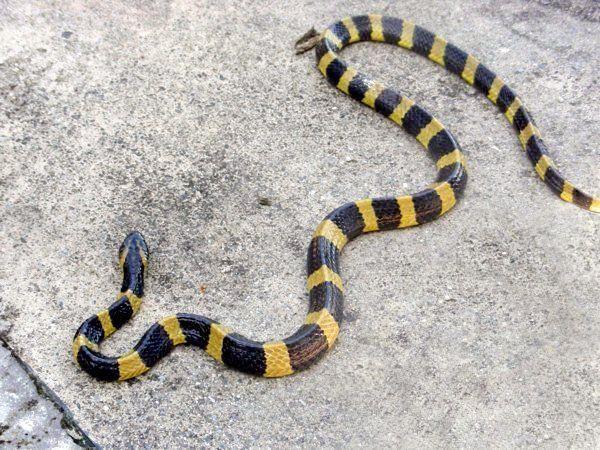 Renegade reccomend Cambodian snake anus