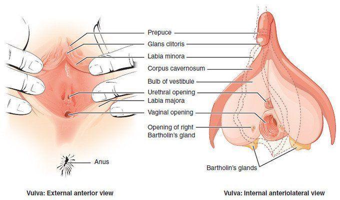 best of Of female vulva human Anatomy
