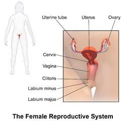 Monarch reccomend Anatomy vulva of female human