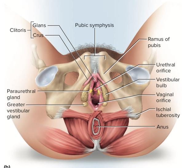 Nut reccomend Engorgment of clitoris
